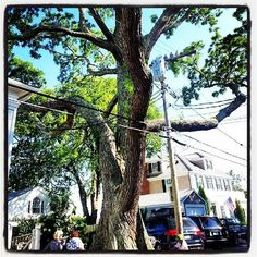North America's oldest and largest Pagoda tree.  Brought from China to Edgartown, MA in Martha's Vineyard in 1812