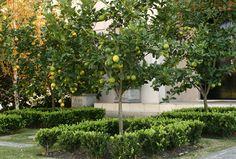 El limonero es uno de los cítricos preferidos para plantar en patios y jardines. ¿Lo mejor? ¡10 meses de limones en el año!