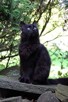 I Love Cats, Cool Cats, Black Cat Art, Black Cats, Cat Years, Cat Anatomy, Cats Tumblr, Warrior Cats Art, Cat With Blue Eyes