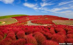 We can't get over how beautiful the vibrant red Kochia plants of Ibaraki, Japan are, and wish we could instantly transport here for a hike!
