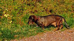 Erst mal schnüffeln,  ... was es Neues gibt. Mein Ferienkind, äh -hund, Oskar, ist wieder da. Ein ausgebildeter Jagdhund. Da können sich alle fremden Katzen in meinem Garten warm anziehen. :-)