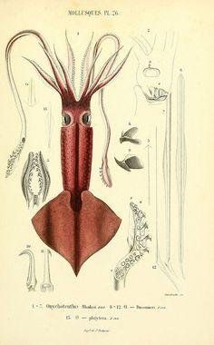 Mollusques vivants et fossiles. Atlas. Paris :Gide et Cie., éditeurs,1845. biodiversitylibrary.org/page/14495676