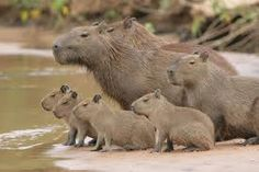This adorable little pack is one of the worlds largest rodent species, the Capybara. I just want to go to Brazil just to hold one of these guys.