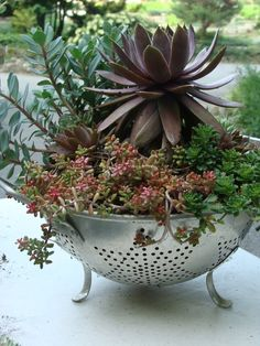 ❤~ Cactus~❤~Suculentas~❤ Sedums & Sempervirens - in a colander, talk about perfect drainage, just what succulents love! Succulent Gardening, Cacti And Succulents, Planting Succulents, Planting Flowers, Succulent Ideas, Succulent Terrarium, Vegetable Gardening, Succulent Cuttings, Succulent Arrangements