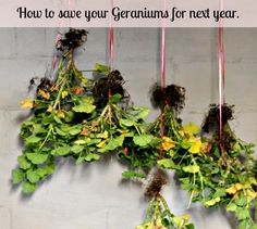 Great post on how to save your geraniums and plant them for next year. I did this and it works great.