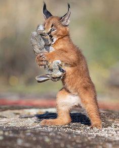 Wildlife Nature, Nature Animals, Animals And Pets, Cute Animals, Funny Animals, Beautiful Creatures, Animals Beautiful, Caracal Kittens, Safari