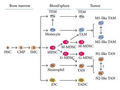 Differentiation of tumor-associated myeloid cells begins from. Np School, Hematology, Bone Marrow, Differentiation, Stem Cells, Immune System, Cancer