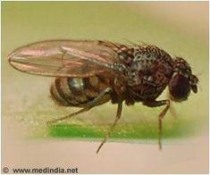 Study of Fruit Flies' Immunity can Help Avoid Weaker Immunity on Space Flights