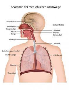 Atemwege – Aufbau, Funktion & Krankheiten   Medlexi.de Nasal Cavity, Respiratory System, Cavities, Lunges, Anatomy And Physiology, Sleep Problems, Internal Medicine, Self Help, Dental Caries