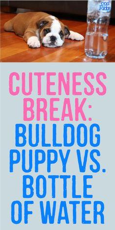 CUTENESS BREAK: Bulldog Puppy Vs. Bottle Of Water <3