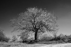 Wayside Tree by Nicu Gherasim on Nicu, Country Roads, Trees, Celestial, Black And White, Plants, Outdoor, Outdoors, Black N White