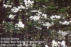 """Nature Indicators: From link """"When dogwoods flowered in the spring, it indicated the planting time for corn."""" Note to self: Indian uses of dogwood tree listed on this site are not referring to   the same species I have (Cornus florida subsp. florida)"""