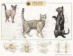 Feline Cat Skeletal System Anatomical Poster by Lake Forest Anatomicals Cat Anatomy, Animal Anatomy, Cat Skeleton, Skeleton Anatomy, Vet Assistant, Cat Whisperer, F2 Savannah Cat, Animal Science, Veterinary Medicine