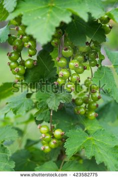 Green unripe bunch of red black redcurrant currant bush tree plant leaves Trees To Plant, Plant Leaves, Currant Bush, Fruit Garden, Red Black, Stock Photos, Green, Nature, Flowers