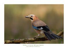 Gepind vanaf vroegevogels.vara.nl - Gaai