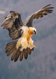 lammergeier Career Option: become a bearded vulture Beautiful Birds, Animals Beautiful, Aigle Animal, Animal Original, Animals And Pets, Cute Animals, Bird Wings, Big Bird, Vulture