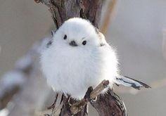 tweet : 雪の妖精!可愛すぎる鳥「シマエナガ」 - NAVER まとめ
