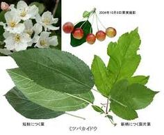 Image result for malus sieboldii Plant Leaves, Plants, House, Image, Home, Plant, Homes, Planets, Houses