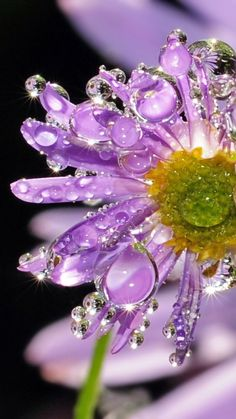 Dew Crystal Purple Daisy