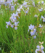 Iris sibirica 'Blue King' - siperiankurjenmiekka