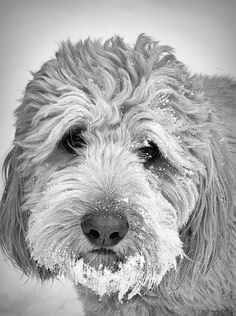 Frank, with a snow beard. My dog is the best.