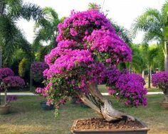 Bougainvillea bonsai 2