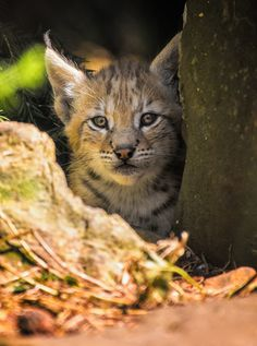 Little Lynx by Friedhelm Peters on 500px