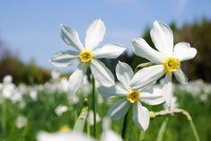 5 flori care ne fac grădina mai frumoasă, primăvară   ȚĂRĂNCUȚA URBANĂ