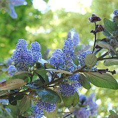 Ceanothus - Amerikaanse sering, soorten, snoeien