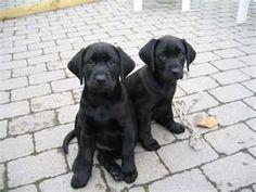 Black Lab Puppies #labradorretriever