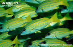 Lutjanus quinquelineatus Five-lined snapper