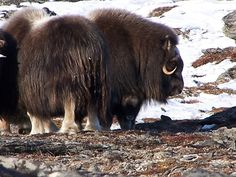 nome alaska  Muskox are the purveyors of a very fine product used in yarn. Qiviut is a very versatile and unique fur used in some of the warmest, softest and most shrink resistant yarn.