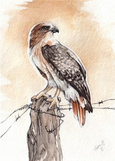 Red-Tailed Hawk - Print of Original Watercolor tattoo tattoo tattoo design tattoo tattoo tattoo bird tattoo Watercolor Bird, Watercolor Animals, Watercolor Paintings, Watercolor Wedding, Watercolours, Bird Drawings, Animal Drawings, Falke Tattoo, Hawk Pictures