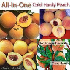 Cold Hardy Peaches, 3 on 1 Multiple Grafted Fruit Tree (Semi-dwarf)