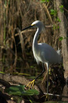 Snowy egret, Everglades National Park, Florida