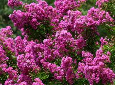 Lagerstroemia indica or <b>Crape</b> <b>Myrtle</b> <b>Tree</b> B Tree, Summer Picture Outfits, Online Plant Nursery, Lagerstroemia, Myrtle Tree, Pot Plante, Plantation, Landscaping Tips, Flowering Trees