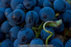 Mali Plavac Grape, Lumbarda, Croatia