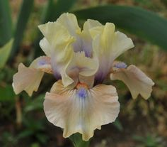IB Iris germanica 'Bottle of Bliss' (Blyth, 2012)