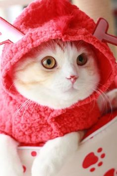Catsparella: Ryoma the Cosplaying Kitty