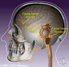 facial nerve is the seventh of twelve pairs of cranial nerves located on either side of the head. Facial Nerve Branches, Nervous System Anatomy, Nerve Anatomy, Cranial Nerves Mnemonic, Facial Anatomy, Gross Anatomy, Craniosacral Therapy, Autonomic Nervous System, Pharmacology Nursing