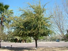 Plant photo of: Quercus virginiana
