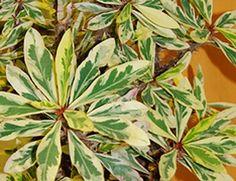 Euphorbia milii Magenta Madness [hyb] - Glasshouse Works