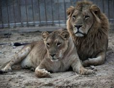 Lions face extinction threat in West Africa - Africa - World - The Independent