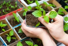Лучший Выращивание рассады в домашних условиях: томаты, огурцы, перец, баклажаны, капуста, клубника и даже петунии. Все тонкости данного вопроса