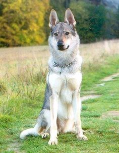 czechoslovakian wolfdog... travis already promised!!! <3