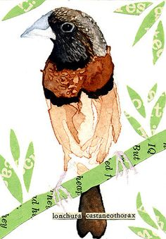 "watercolor, aceo, art card, ""Chestnut Breasted Mannikin"""