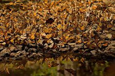 Monarchs convene at a water hole along a small stream bed in the Monarch Butterfly Biosphere Reserve in Michoacan, Mexico.