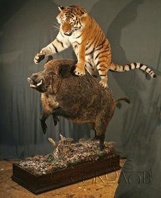 Tiger hunting a Boar.