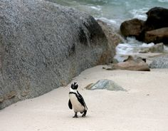 #BOULDERSBEACH Boulders Beach, near Simon's Town, between Fishoek and Cape Point, is part of the Table Mountain National Park. Visitors to Boulders can swim among the penguins, or observe them from the wooden walk ways that have been constructed as part of a conservation effort to protect the sand dunes in and around Boulders.