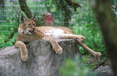 Eurasian lynx | Eurasian Lynx – Lynx lynx - Ground Mammals